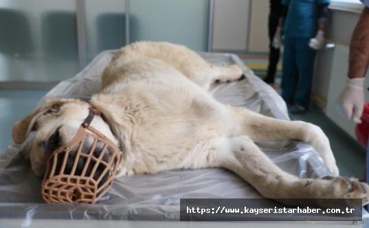 Otomobilin çarptığı yaralı köpek tedaviye alındı