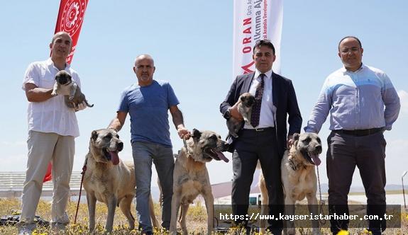 Kalkınma ajansından  Kangal köpekleri için çipli takip projesi