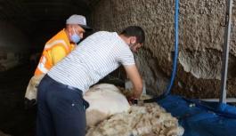 Koyunlar kırkılmaya başlandı