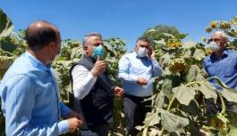 Yeşilhisar'da ayçiçeği ekim alanları kontrol edildi